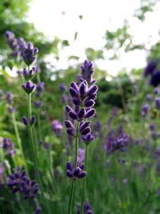 the herb gardener understand the different types of lavender