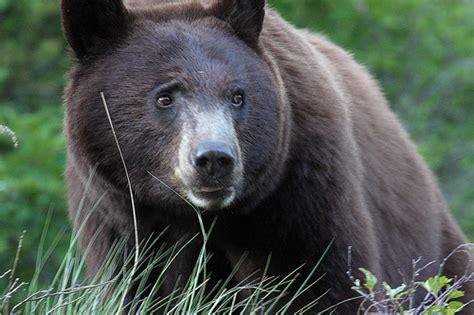 big black bear big black bear newhairstylesformen2014 com