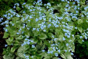 Perennial Plants Brunnera Does It Really Need A Perennial Of