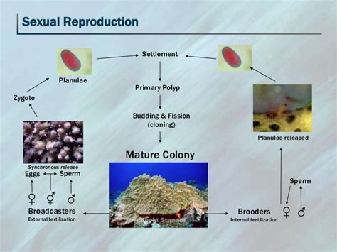 why is sexual reproduction better than asexual reproduction mele coral biology