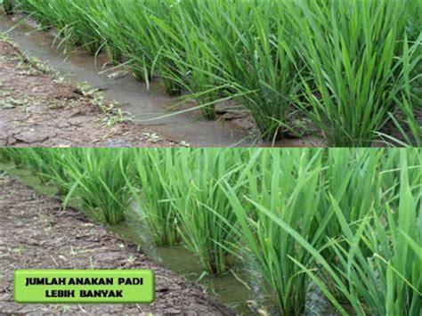 Pupuk Bio Booster aplikasi pada tanaman padi pupuk k bioboost