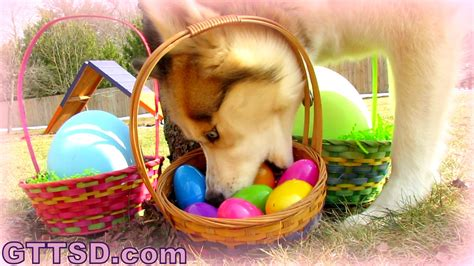 eggs for puppies my dogs easter egg to the snow dogs siberian husky