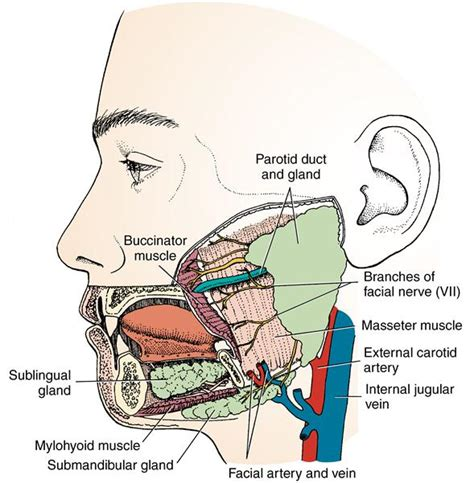 diagram of salivary glands 15 salivary glands and tonsils pocket dentistry