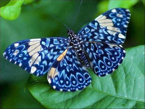 imagenes hermosas reales ranking de las mariposas m 193 s hermosas del mundo