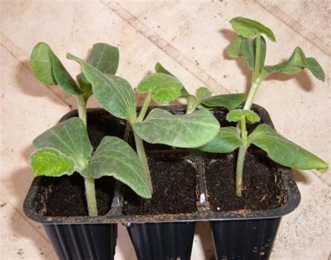 cetrioli in vaso orto facilissimo coltivare i cetrioli