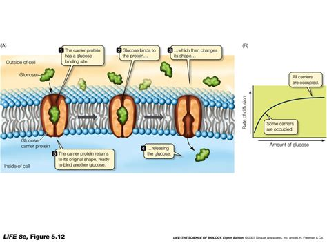 a protein channel is a transport protein that carrier protein diagram www pixshark images