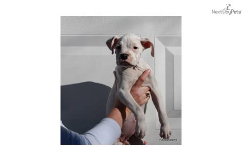 white boxer puppies for adoption adopt grace a boxer puppy for white boxer puppy for adoption deaf