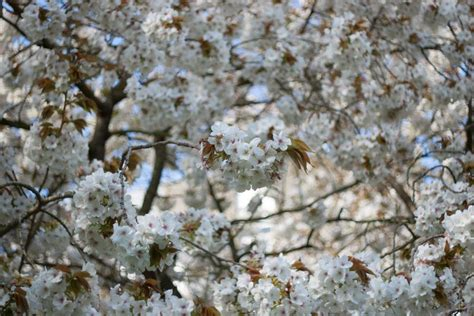 when did japan give us cherry blossoms when did japan give us cherry blossoms the best 28 images