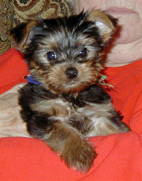 looking for teacup yorkies two yorkie puppies looking for a new forever home camden de asnclassifieds