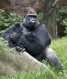 gorilla eastern lowland gorilla wildlife the wildlife