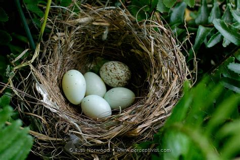 house finch eggs color house finch eggs color 28 images house finch bird nest
