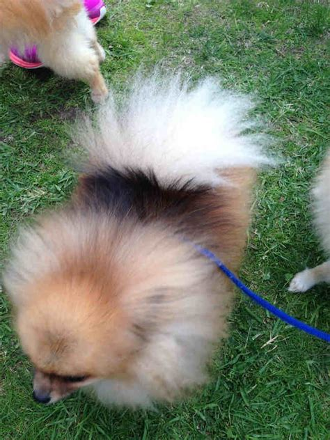 rspca pomeranian pomeranians at the rspca million paws walk melbourne emilia