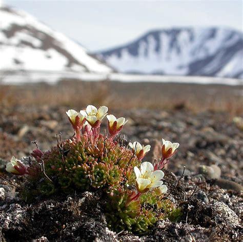 Biotic Garden Tufted Saxifrage Saxifraga Cespitosa In Spitsbergen