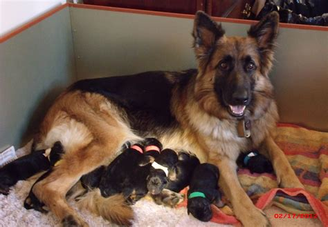 german shepherd puppies for sale ga german shepherd puppies colonial va 22443 business listings directory