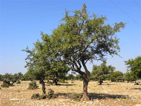 Tree L by The Argan Tree Riad Du Figuier