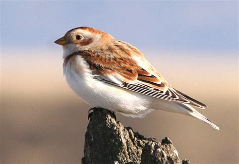 washington state bird facts mystery bird snow bunting plectrophenax nivalis living the scientific scientist