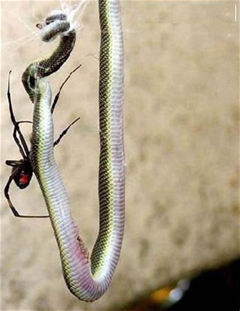 Tutup Pentil Spiders 1 spider vs snake spider win picture and