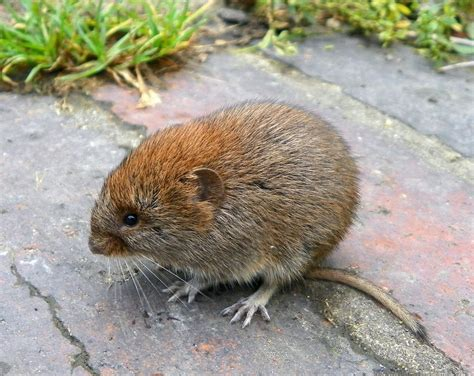 what is a vole effective wildlife solutions