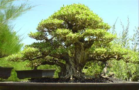 Jual Bakalan Bonsai Jogja jual biji benih bonsai santigi jogja florist