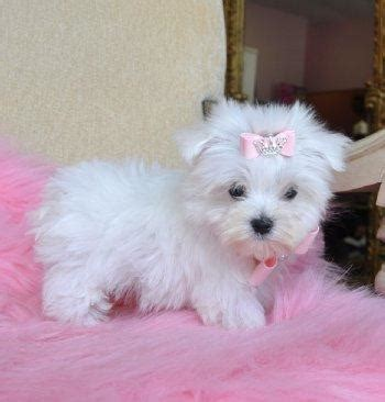 teacup maltese puppies for sale 300 canada ads for pets animals gt dogs puppies free classifieds muamat