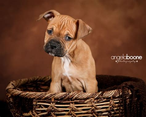 rottweiler rescue mn 17 best images about my pit bull photos pets by angela boone on adoption
