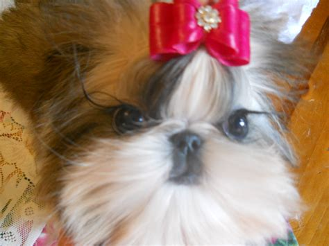 shih tzu puppies for sale in bowling green ky shih tzu puppies for sale in kentucky