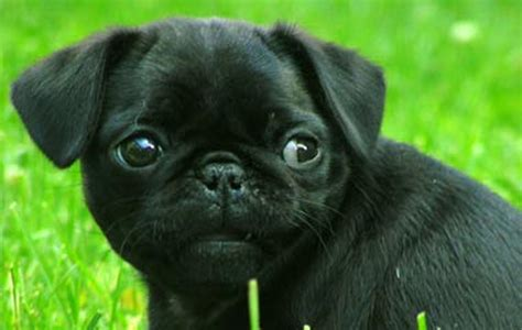 black pug puppie puppy dogs black pug puppies
