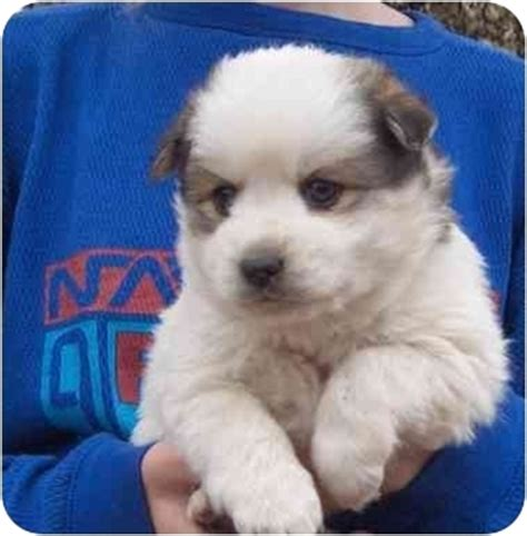 miniature american eskimo pomeranian mix fuzzy adopted puppy hendersonville nc pomeranian american eskimo mix