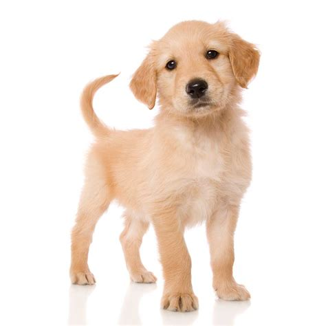 small golden retriever puppies miniature golden retriever breed 187 everything about the breed