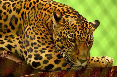 jaguars photos free photo jaguar big cat carnivore feline free