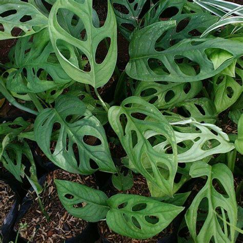 tanaman hias daun janda bolong gardening  carousell