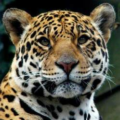Jaguar In Species Profile Jaguar Panther Onca Rainforest Alliance