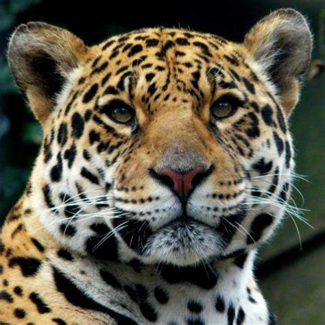 jaguars photos species profile jaguar panther onca rainforest alliance