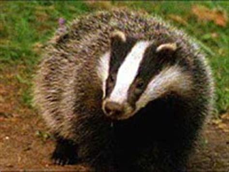 badger animals town