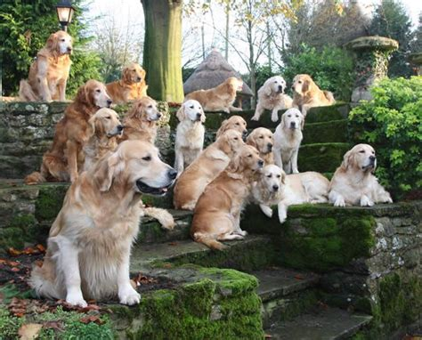 how many puppies does a golden retriever 17 reasons golden retrievers are not the friendly dogs everyone says they are