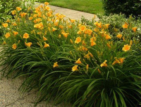 Stelan Flower how to keep stella de oro daylilies blooming all season dengarden