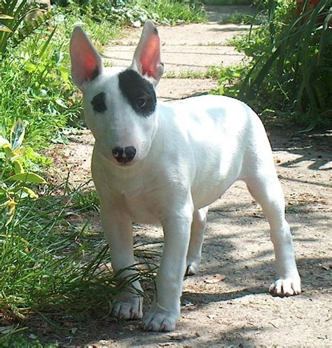 puppy bull terrier bull terrier dogs breeds pets
