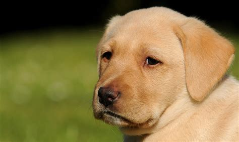 what age to start a puppy when can puppies leave their the labrador site