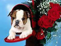 English Bulldog Puppies Appearance  The Is A Very Well Built