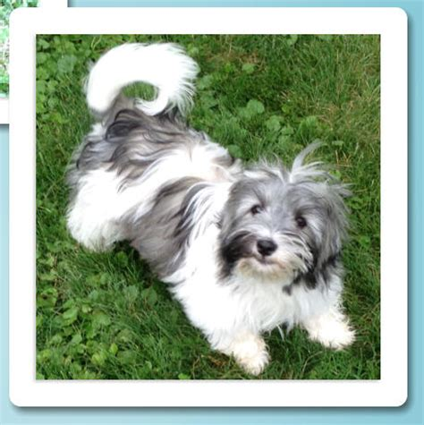 east coast havanese havanese puppies available for adoption in syracuse ny