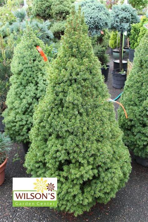 dwarf alberta spruce dwarf trees  landscaping dwarf