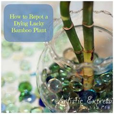 how to save a dying plant rotting lucky bamboo plants tips for preventing rot in