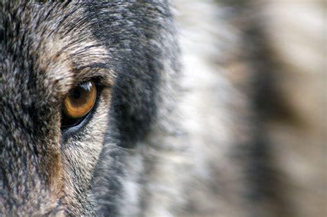 the most dangerous the most dangerous wolves