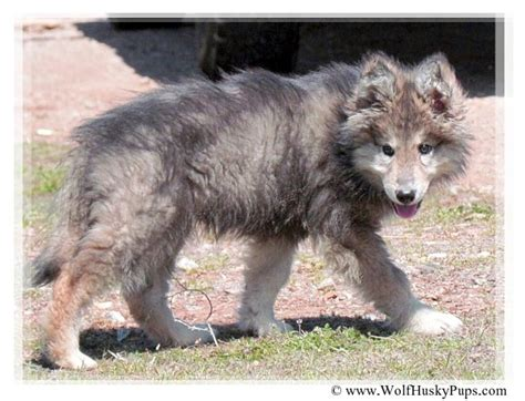 wolfdog puppies wolf hybrid pet www pixshark images galleries with a bite