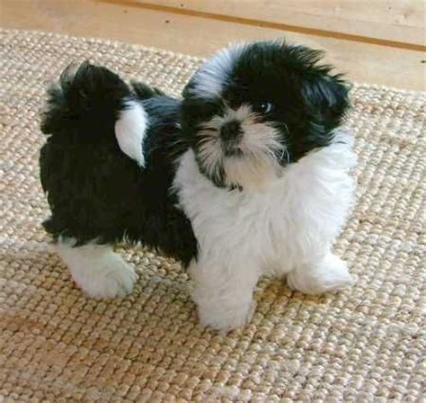 black white shih tzu shih tzu black white cutest thing i want looks much like my quincy only