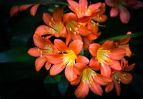 fiori arancioni nomi fiori arancioni fotografia stock immagine di crescere