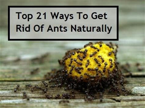 ways to get rid of ants just in