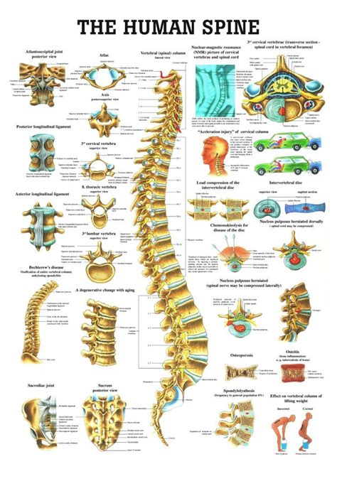 sections of spine in human anatomy poster human spine laminated