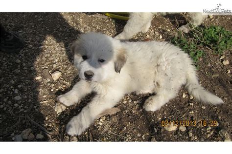 great pyrenees puppies price great pyrenees puppy for sale near killeen temple ft ef66aefd a351