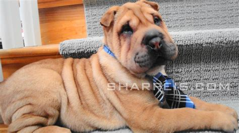shar pei puppies for sale florida sharpei puppies for sale